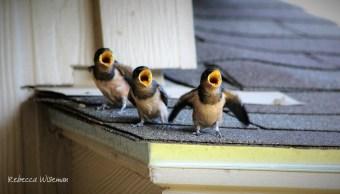 Barn Swallow Babies 2