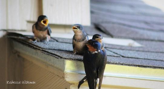 Barn Swallow Babies 3