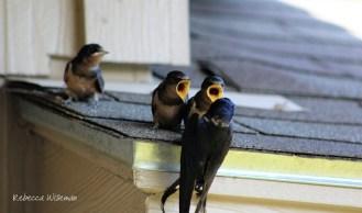 Barn Swallow Babies 4