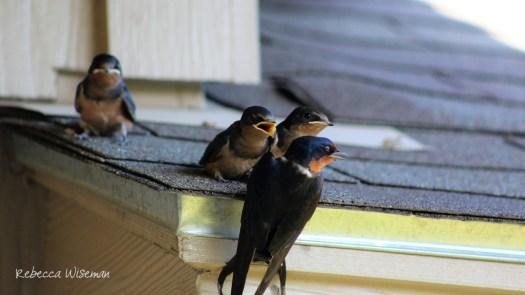 Barn Swallow Babies 5