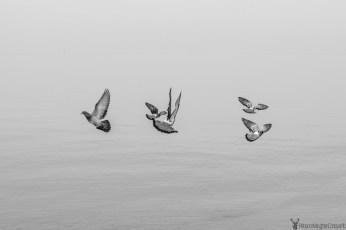 Piran Seagulls