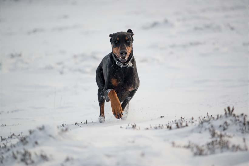 Doberman dog running in the snow