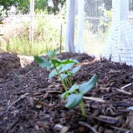 Cucumber seedlings!