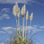 Pampas Grass Days