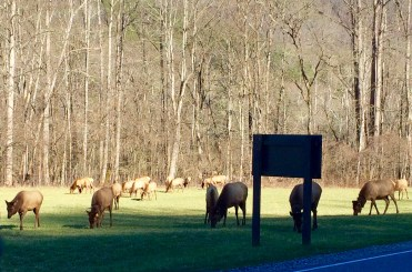 Elk outside Cherokee