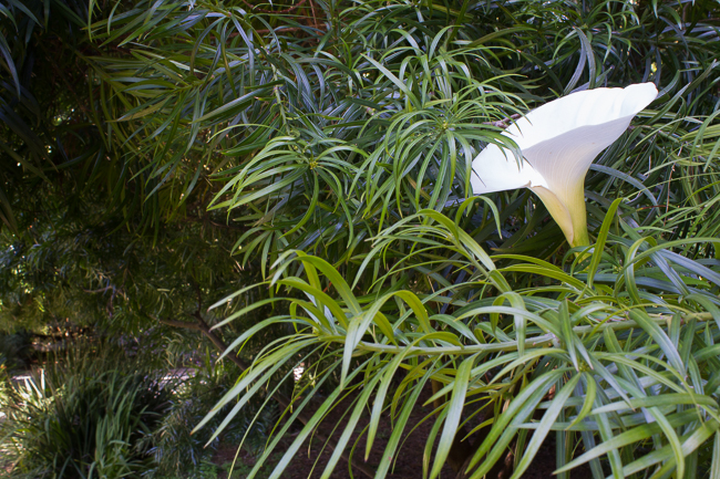 Hiding in Plain Sight - A stately Calla Lily stands among leaves of a tree.