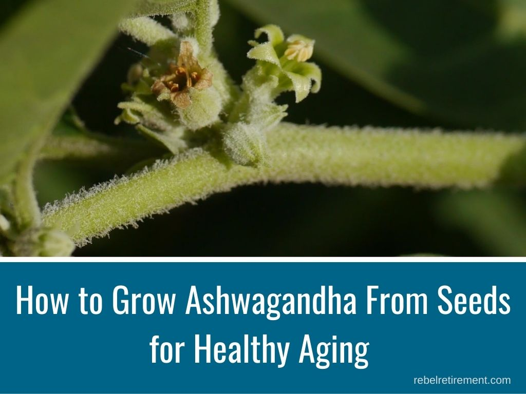 How to Grow Ashwagandha for Healthy Aging - Rebel Retirement