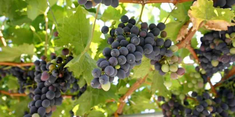 Uvas de Dingac, Croacia