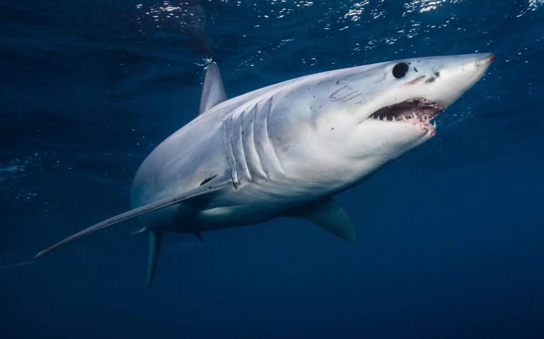 Short Fin Mako Sharks