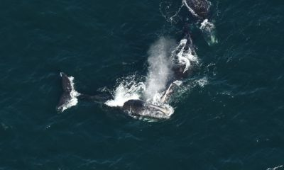 15 North Atlantic right whales near Nantucket as they head south from Canada
