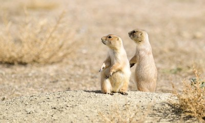 Prairie dog activists want Arapahoe County to move colony before Comcast paves new parking lot