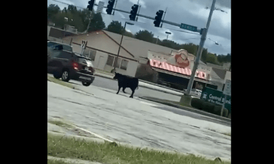 Cows walk down Missouri highway after escape from processing plant