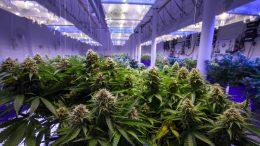 Bildergebnis für Sind überzüchtete Sorten und Milliardenkonzerne die Zukunft des Cannabis?