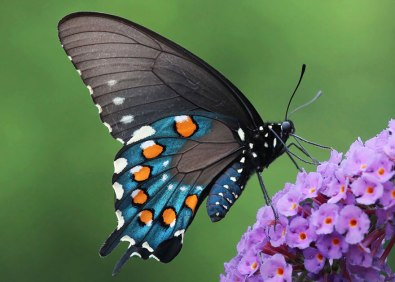 PipevineSwallowtail2
