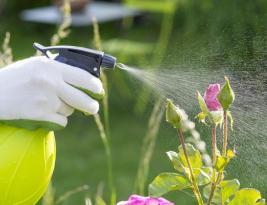 Le savon noir remède naturel contre les pucerons
