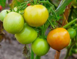 Fruits et feuilles de légumes toxiques à ne pas consommer