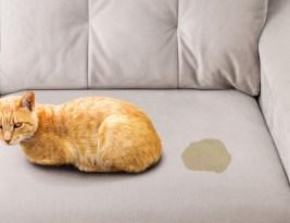 Comment supprimer l'odeur d'urine de votre animale de compagnie : chat ?