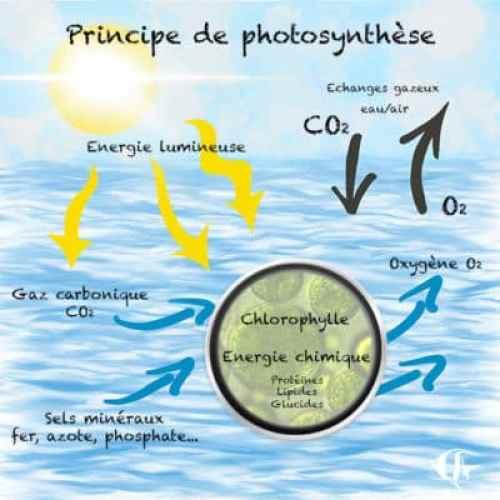 pe de photosynthèse phytoplancton