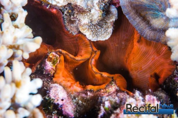 Discosoma sp rouge dans une anfractuosité entre les coraux.
