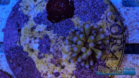 Colonie de Euphyllia glabrescens doré de 1 an d'âge et élevée en aquarium