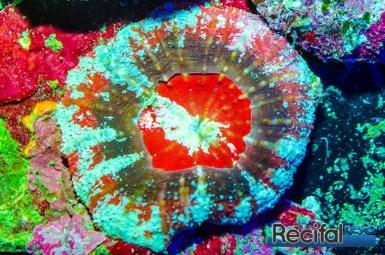 Micromussa pacifica classique d'Indonésie mais particulièrement coloré avec du rouge vif