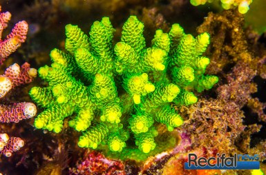 Acropora millepora vert de culture. Notez que la même de petite taille, la forme de la colonie est deja optimisée.