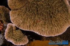 Le grand classique des Montipora en forme de coupe, avec ses crêtes de surface radiales et évidentes.