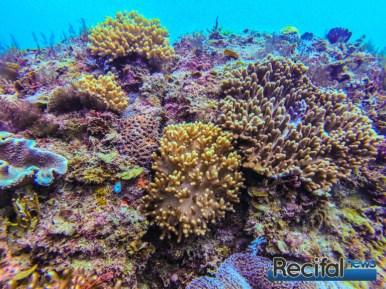 Son habitat est dominé par les coraux mous, qui résistent mieux aux fortes houles.