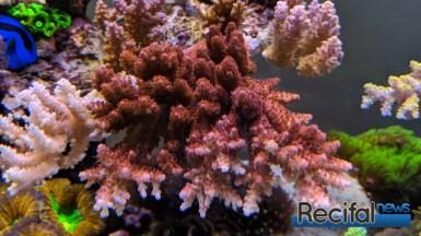 Un magnifique A. solitaryensis rouge