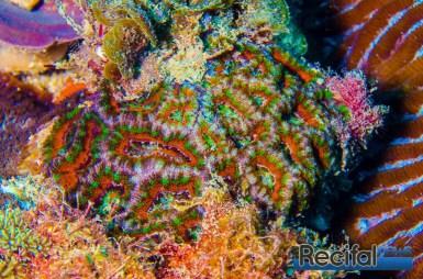 Les M. lordhowensis, arc en ciel, sont les plus recherchés, mais pas si évident à voir sous l'eau.