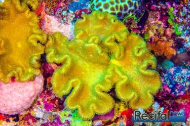 Une petite colonie de Sarcophyton elegans sur un récif externe de la grande barrière où les conditions sont optimales