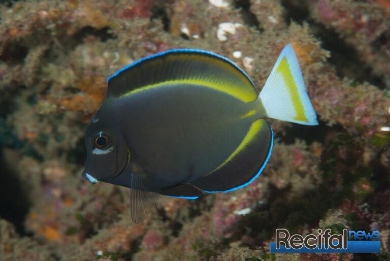 Un magnifique juvenile de A. nigricans. Notez la caudale avec une barre jaune.
