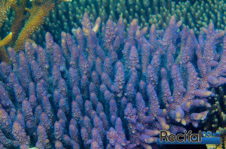 La forme classique violette, au-dessus d'un récif interne de la grande barrière de corail.