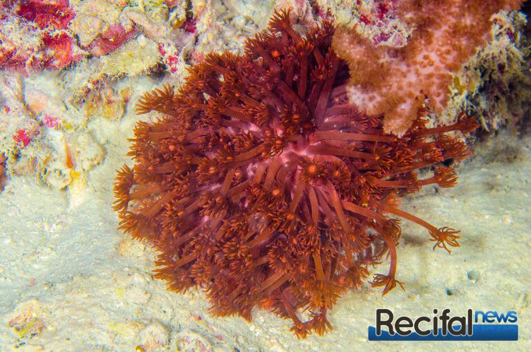 Un magnifique Goniopora rouge de récif Australien.