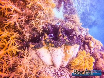 Tridacna gigas de plus d'un mètre de longueur. Une vue rare, à part sur la grande barrière.