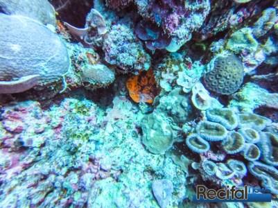 Les Echinophyllia sont crytiques et vivent dans le récif.
