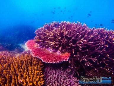 ici dans une récif interne turbide de la grande barrière en compétition avec des espèces plus verticales