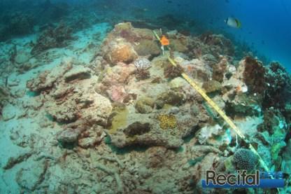 Un rocher avec les boutures de coraux placées dessus, et la ligne de transect pour prendre la video.