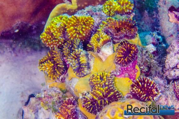 Un groupe de Lobophyllia pachysepta transplanter sur la grande barrière de corail. Ces animaux sont replanter à la même profondeur, et dans le même environnement que leur emplacement d'origine. Leur santé sera contrôlé pendant des années.