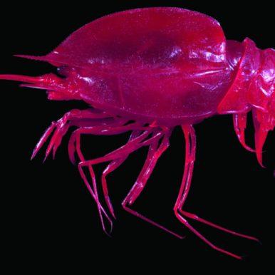 Notostomus gibbosus Tropical Deep Sea Benthos © Muséum national d'Histoire naturelle - Tin-Yam Chan