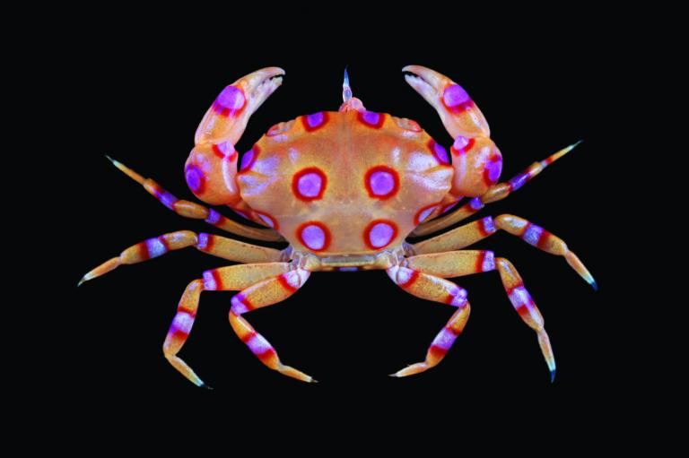 Xanthias maculatus Tropical Deep Sea Benthos Mainbaza © Muséum national d'Histoire naturelle - Tin-Yam Chan