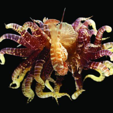 Epitoniidae sur actinidae Papouasie Nouvelle-Guinée, Expédition Papua Niugini © Muséum national d'Histoire naturelle / La Planète Revisitée -Laurent Charles