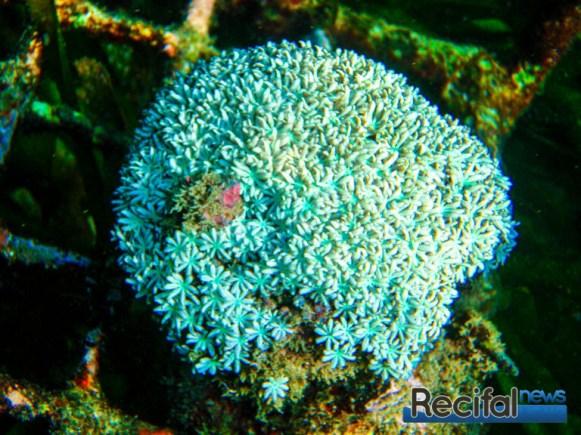 Un Tubipora de culture Indonesien. Cette espèce est très facile à cultiver. La couleur de polype blanc rend très bien en Aquarium et est plutôt rare.
