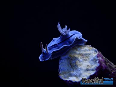 poisson-dor-nudibranche