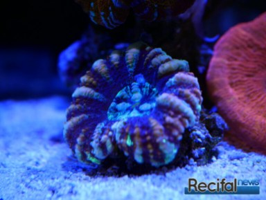 red-sea-reefbeat-scoly-2