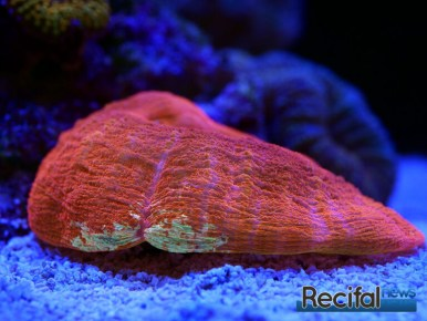 red-sea-reefbeat-scoly