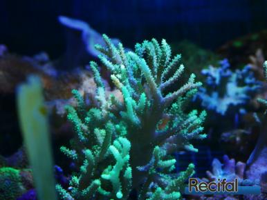 animalis-eragny-rencontres-recifales-2-sinularia