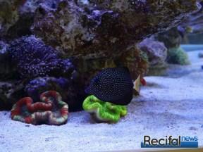 poisson-or-aquarium-recifal-gemmatum
