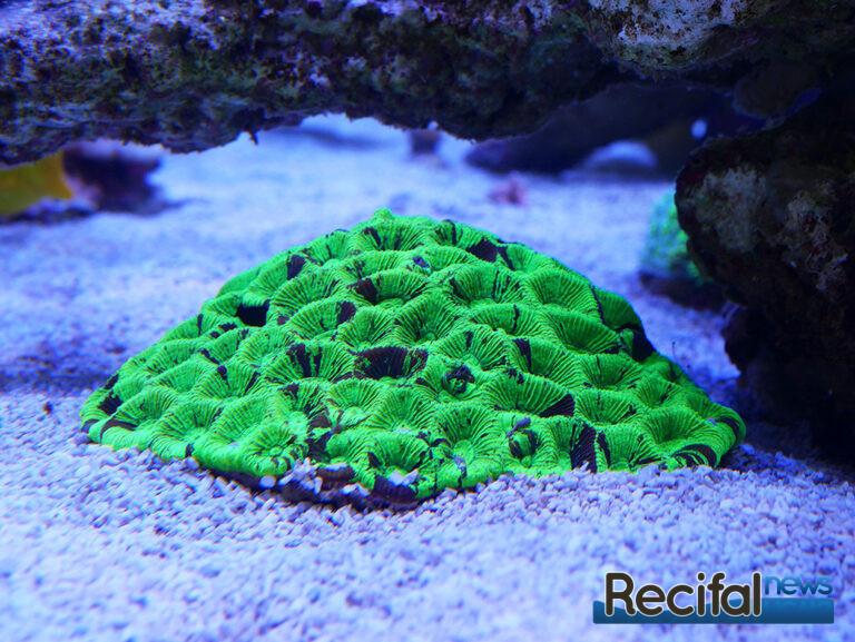 poisson-or-aquarium-recifal-goniastrea