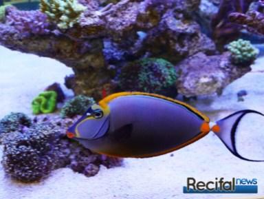 poisson-or-aquarium-recifal-naso